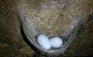 马来西亚燕窝金丝燕和燕蛋