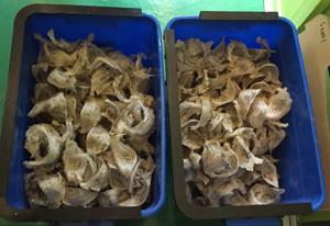 优质马来西亚燕窝毛材料